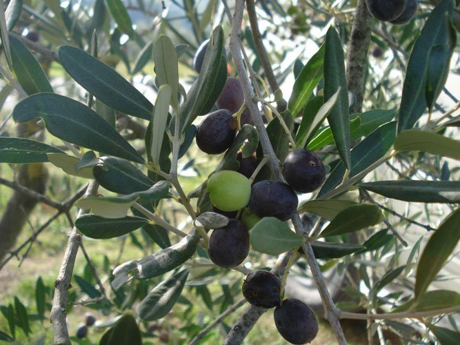 Tuscan olives on a branch