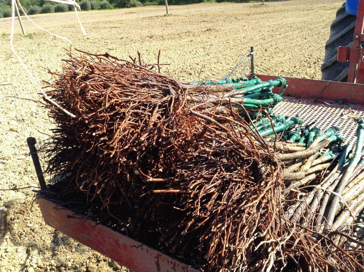 Organic vine roots