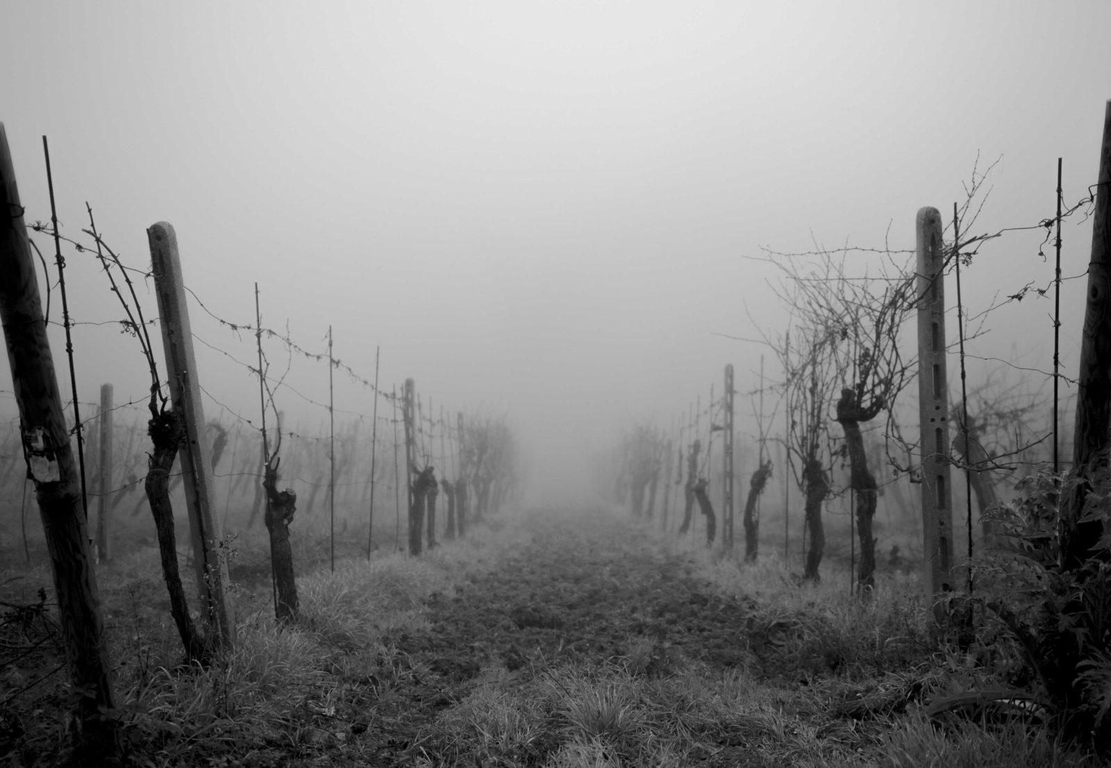 Podere-La-Marronaia-Vigna-con-Nebbia