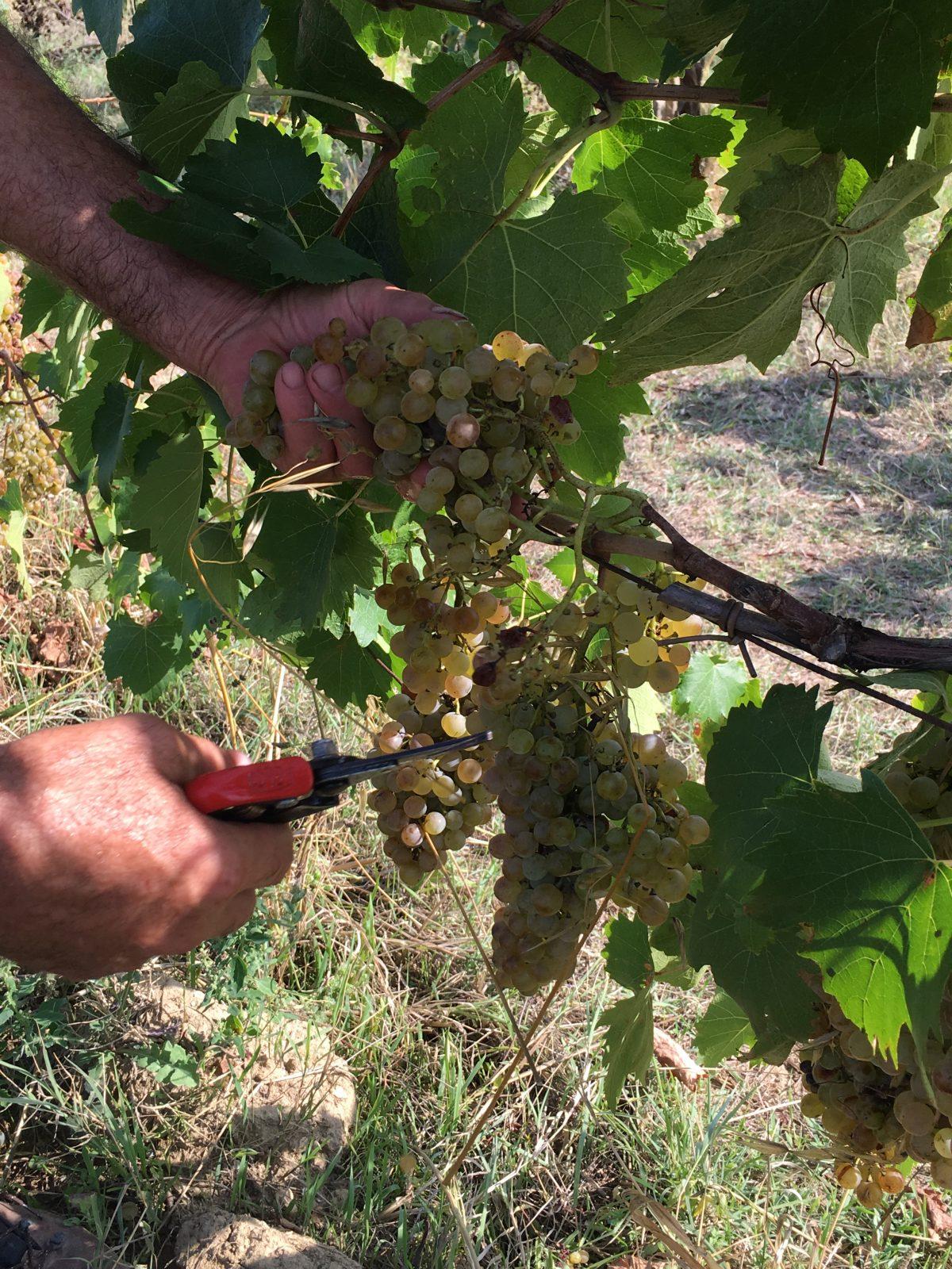 2016 09 23 15.21.13 - La Marronaia - amphora wine