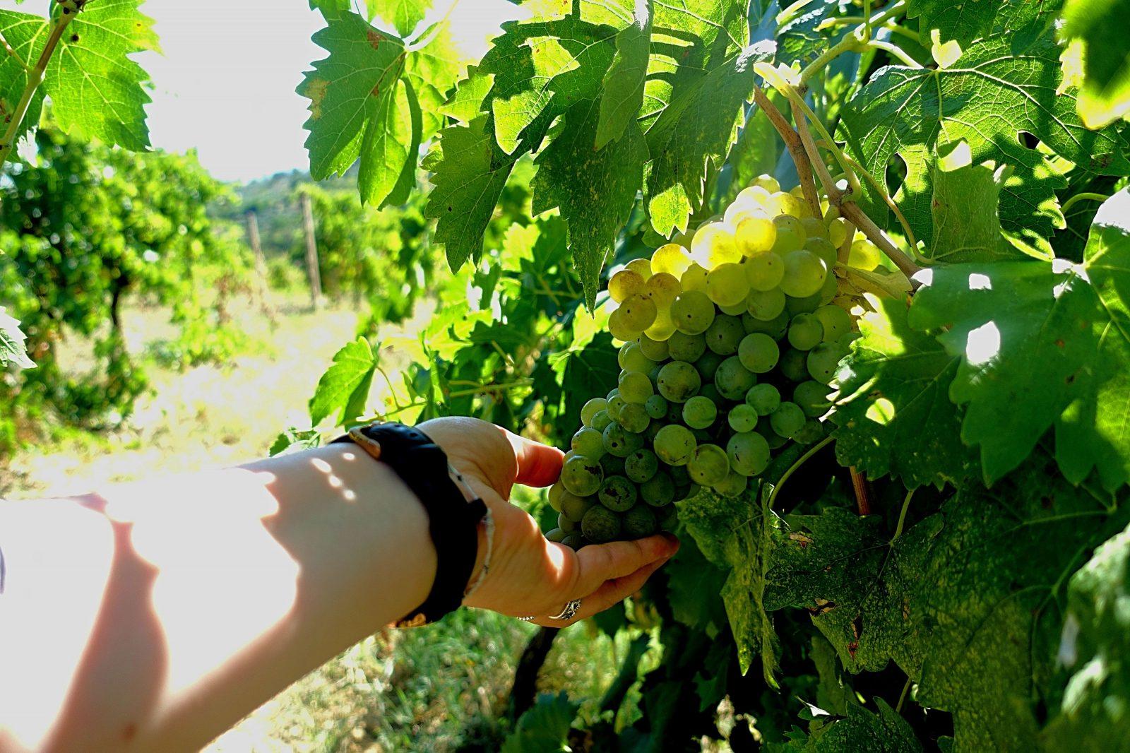podere la marronaia vernaccia grapes - La Marronaia - amphora wine