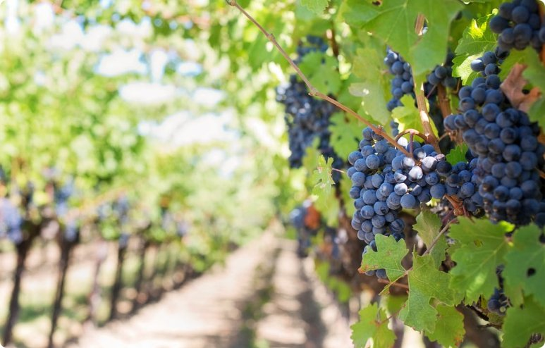 purple grapes vineyard napa valley napa vineyard 39351 1 - La Marronaia - biodynamic