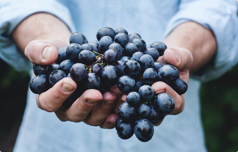 purple grapes vineyard napa valley napa vineyard 39351 3 - La Marronaia - biodynamic